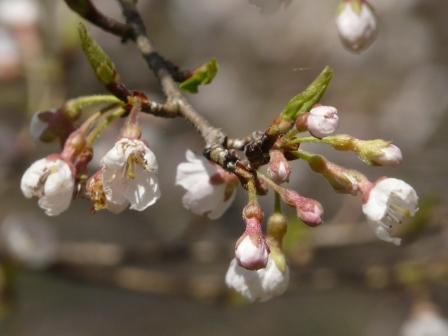 ひょうたん桜 10