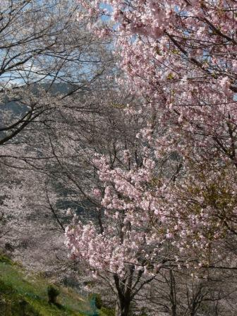 ひょうたん桜 12