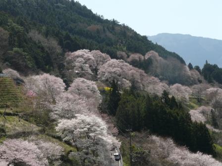 ひょうたん桜 13