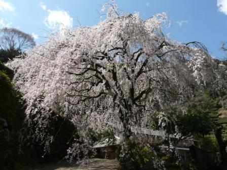 市川家のしだれ桜 1
