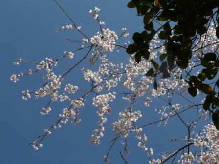 市川家のしだれ桜 4