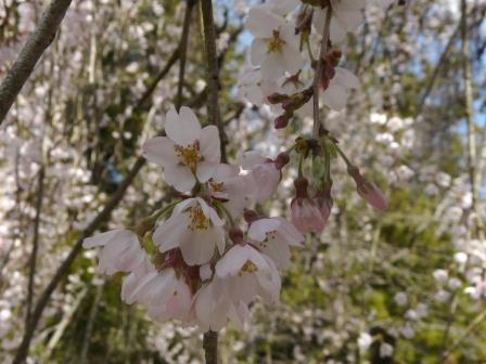 市川家のしだれ桜 3
