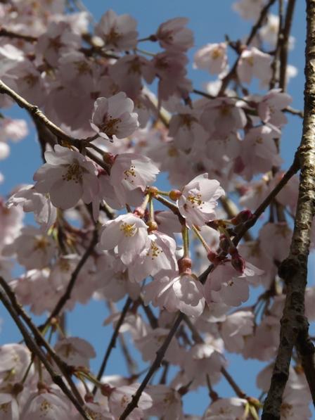 市川家のしだれ桜 5