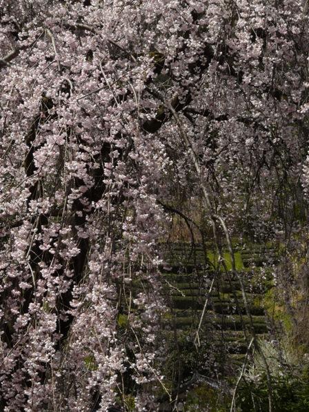 市川家のしだれ桜 7