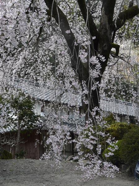 市川家のしだれ桜 6