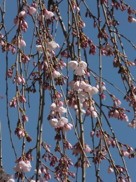 中越家のしだれ桜 7