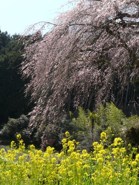 中越家のしだれ桜 4