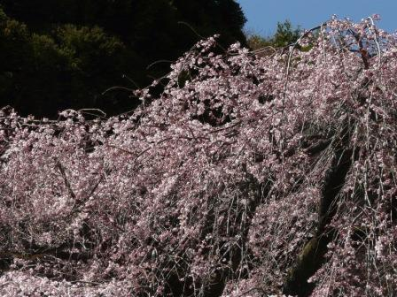 中越家のしだれ桜 5