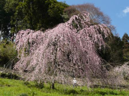 中越家のしだれ桜 8