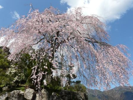 大石家のしだれ桜 1