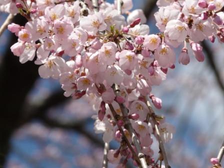 大石家のしだれ桜 3