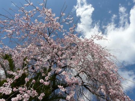 大石家のしだれ桜 7