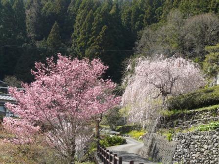 大石家のしだれ桜 10