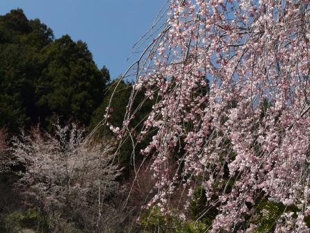 大石家のしだれ桜 4