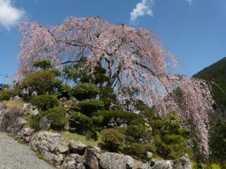 大石家のしだれ桜 2