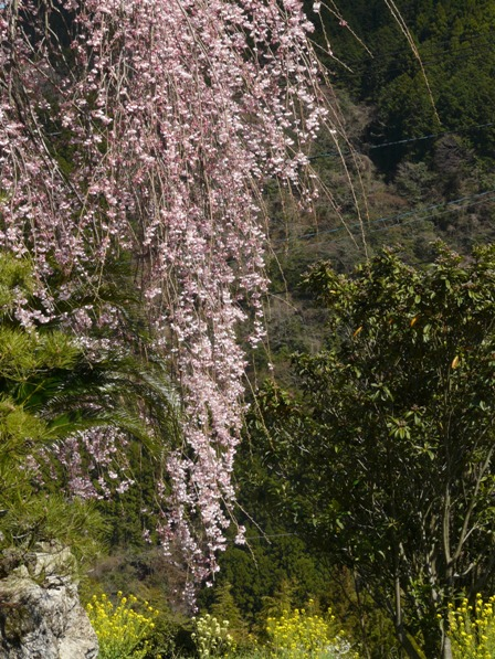 大石家のしだれ桜 5