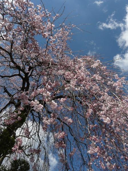 大石家のしだれ桜 9