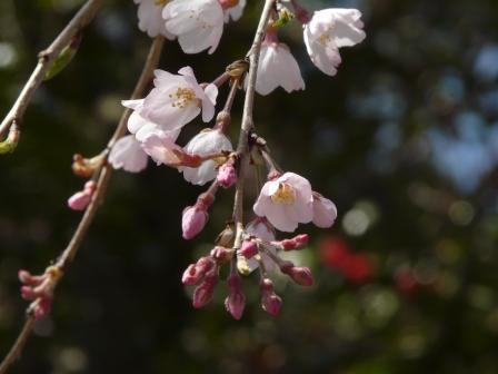 大石家のしだれ桜 8