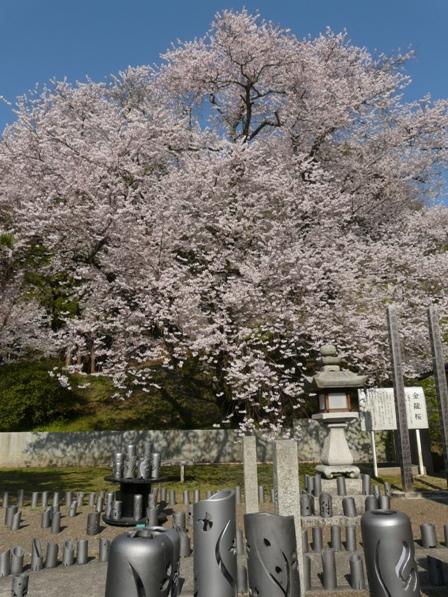 掌禅寺 金龍桜 2