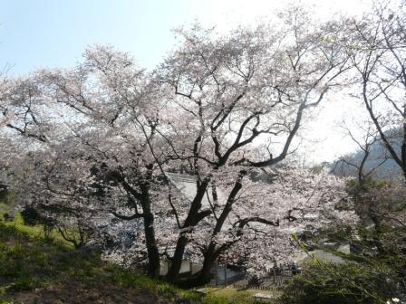 掌禅寺 金龍桜 6