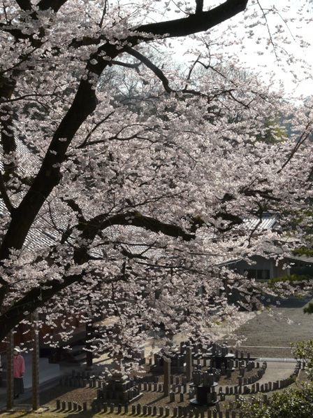 掌禅寺 金龍桜 5