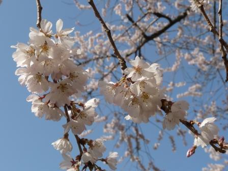 掌禅寺 金龍桜 8