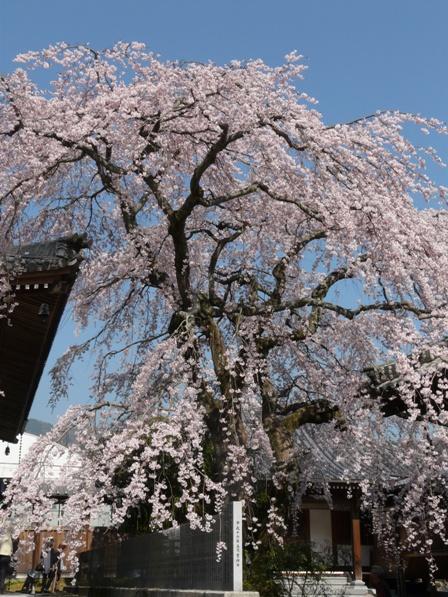 無量寺 しだれ桜 1