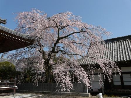 無量寺 しだれ桜 3