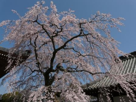 無量寺 しだれ桜 5