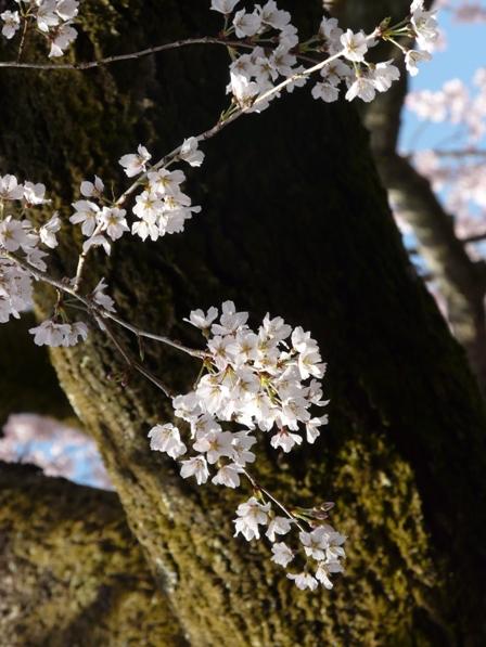 無量寺 しだれ桜 7