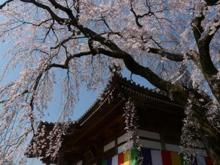 無量寺 しだれ桜 8