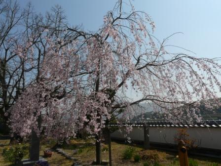 無量寺 しだれ桜 12
