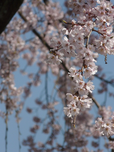 無量寺 しだれ桜 9