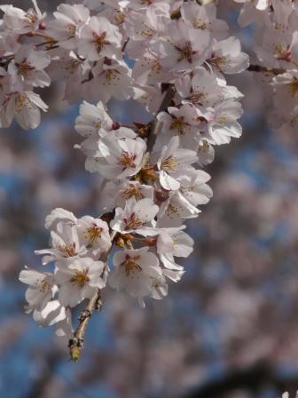 無量寺 しだれ桜 10