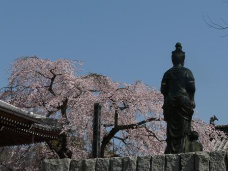 無量寺 しだれ桜 11