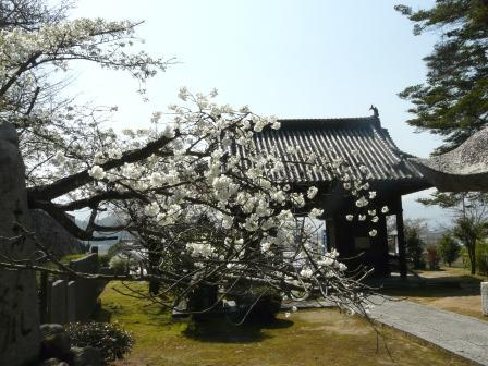 満願寺 しぐれ桜 3