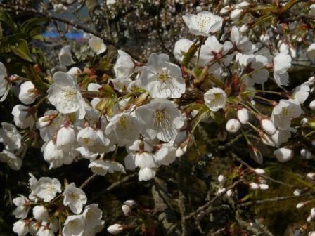 満願寺 しぐれ桜 7
