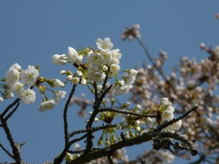 満願寺 しぐれ桜 8
