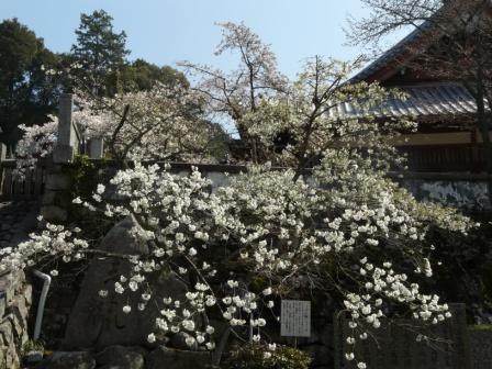 満願寺 しぐれ桜 2