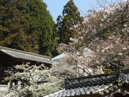 満願寺 しぐれ桜 10