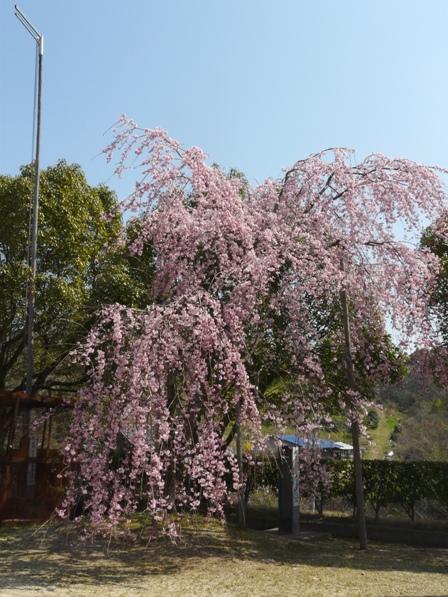世田薬師 しだれ桜 2