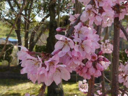 世田薬師 しだれ桜 7