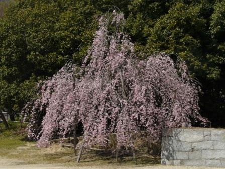 世田薬師 しだれ桜 1