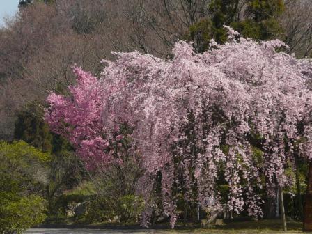 世田薬師 しだれ桜 3