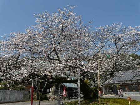 実報寺 一樹桜 5