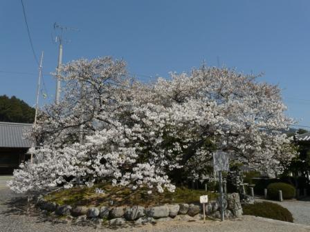 実報寺 一樹桜 1