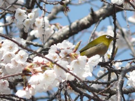 実報寺 一樹桜 & メジロ 1