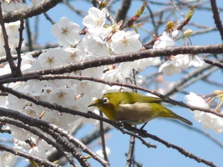 実報寺 一樹桜 & メジロ 2