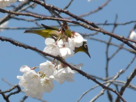 実報寺 一樹桜 & メジロ 3