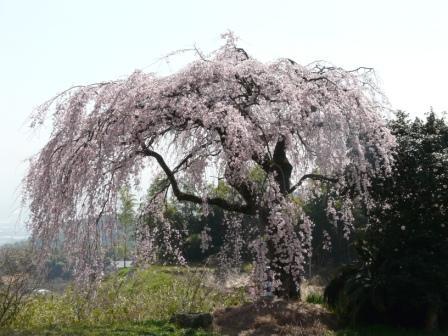古田のしだれ桜 1
